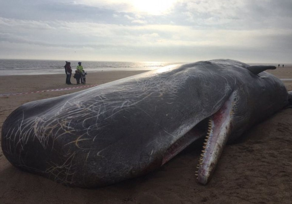 Another Sperm Whale found dead in Germany, and the reason is really shocking2