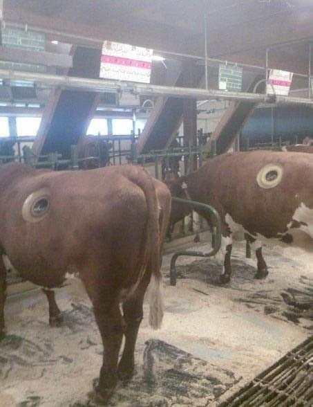 Now you can touch insides of a cow though holes made in stomach1